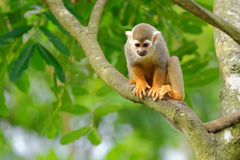 Squirrel monkey on a tree Stock Photography