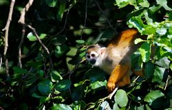 Squirrel Monkey on Tree Stock Images