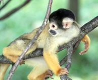 Squirrel monkey in a tree Royalty Free Stock Images