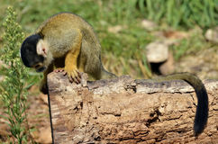 Squirrel Monkey on trunk Stock Photography