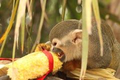 Squirrel monkey Royalty Free Stock Photo