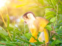 Squirrel monkey with yellow fur hidden in the green bush of Amazonia, South America Stock Photos