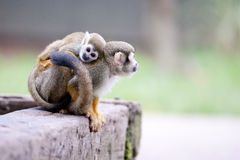 Squirrel monkey Royalty Free Stock Images