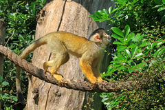 Squirrel monkey in the zoo looking up Stock Images
