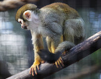 Squirrel monkey in zoo Stock Photography