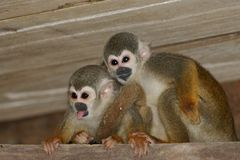 Squirrel monkeys Stock Photos