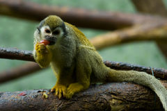 Squirrel monkeys. In a zoo Royalty Free Stock Photography