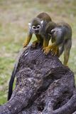 Squirrel monkeys. Two Squirrel monkeys playing on a stump Royalty Free Stock Photos