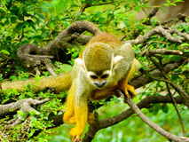 Squirrel monkeys climbing a tree Royalty Free Stock Images