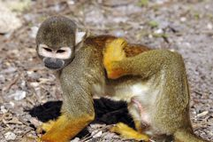 Squirrel monkeys Royalty Free Stock Photography