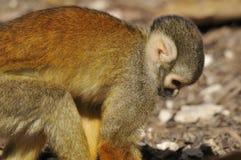 Squirrel monkeys Stock Image