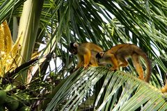 Squirrel monkeys in Madidi  National Park. Squirrel monkeys are found primarily in the tropical lowland rainforest of the Amazon, although they easily adapt to Stock Images
