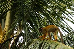 Squirrel monkeys in Madidi  National Park Royalty Free Stock Photo