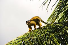 Squirrel monkeys in Madidi  National Park Royalty Free Stock Images