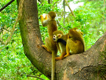 Squirrel monkeys plaing on a tree Royalty Free Stock Photography