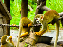 Squirrel monkeys playing Royalty Free Stock Photos