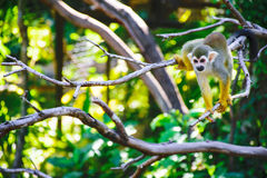 Squirrel monkeys stock images