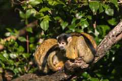 Squirrel monkeys resting on tree branch Royalty Free Stock Photo
