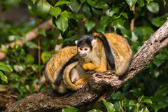 Squirrel monkeys resting on tree branch Royalty Free Stock Images
