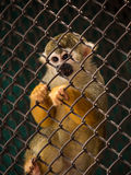 Squirrel monkeys in steel cage. Royalty Free Stock Photos