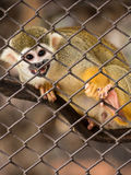 Squirrel monkeys in steel cage. Royalty Free Stock Images