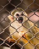 Squirrel monkeys in steel cage. Stock Image