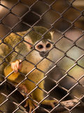 Squirrel monkeys in steel cage. Stock Photos