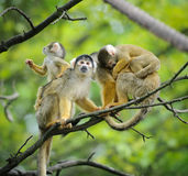 Squirrel monkeys with their babies. Black-capped squirrel monkeys sitting on tree branch with their cute little babies stock image