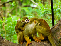 Squirrel monkeys on a tree Stock Photography