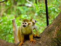 Squirrel monkeys on a tree Stock Images