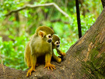 Squirrel monkeys on a tree Royalty Free Stock Photos