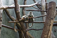 Squirrel monkeys Royalty Free Stock Image