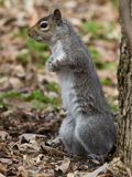 Squirrel in Montreal Park Stock Photo