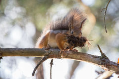 Squirrel mood Stock Images