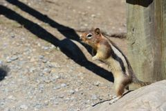 Squirrel moraine lake Banff Royalty Free Stock Photo