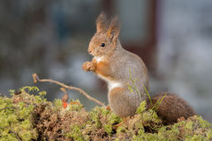 Squirrel moss stand Royalty Free Stock Photography