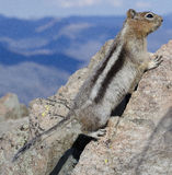 Squirrel. In mountains in Yellowstone National Park stock image