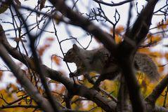 Squirrel moving between branches stock photos