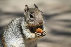 Squirrel munches royalty free stock photography