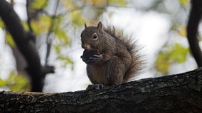 Squirrel munches on a walnut Stock Images