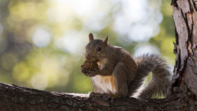 Squirrel munches on a walnut Royalty Free Stock Image