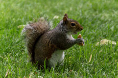 Squirrel munching bread Stock Images