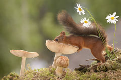 Squirrel on a mushroom with daisy Royalty Free Stock Photos