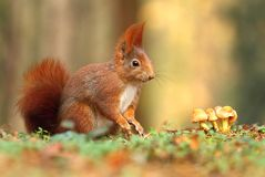 Squirrel with mushrooms Royalty Free Stock Photography
