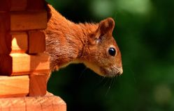 Squirrel, Nager, Garden, Rodent Royalty Free Stock Images