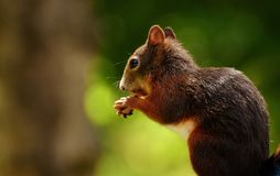Squirrel, Nager, Garden, Rodent Royalty Free Stock Image