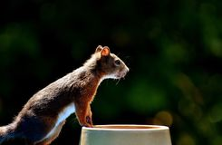 Squirrel, Nager, Garden, Rodent Stock Photography