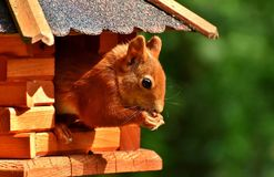 Squirrel, Nager, Garden, Rodent Royalty Free Stock Photography