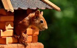 Squirrel, Nager, Garden, Rodent Royalty Free Stock Photo