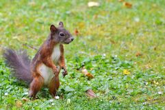 Squirrel, Nager, Rodent, Brown, Nut Stock Photo